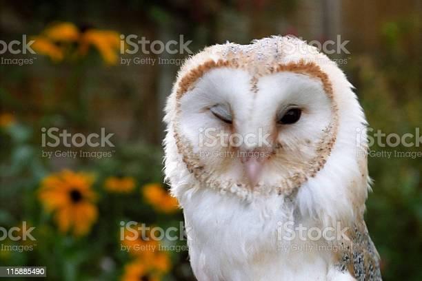 Winking owl picture id115885490?b=1&k=6&m=115885490&s=612x612&h=cfj6 euzr1km8tvxxei9s5xxx k9u mvtbyieek42p4=