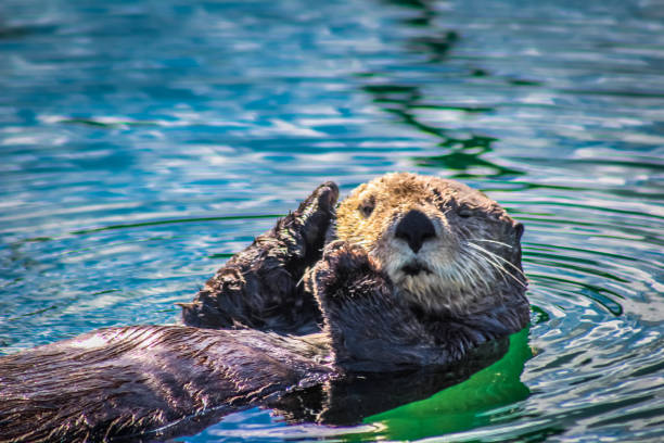 a winking sea otter - mammal stock photos and pictures