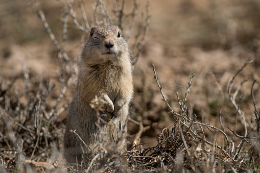 Winking with one eye, a small Wyoming ground squirrel digs and moves dirt around his burrow on the sagebrush covered plains of Colorado's Arapahoe National Wildlife Refuge.