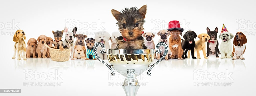 winning yorkshire terrier in front of  dogs pack stock photo