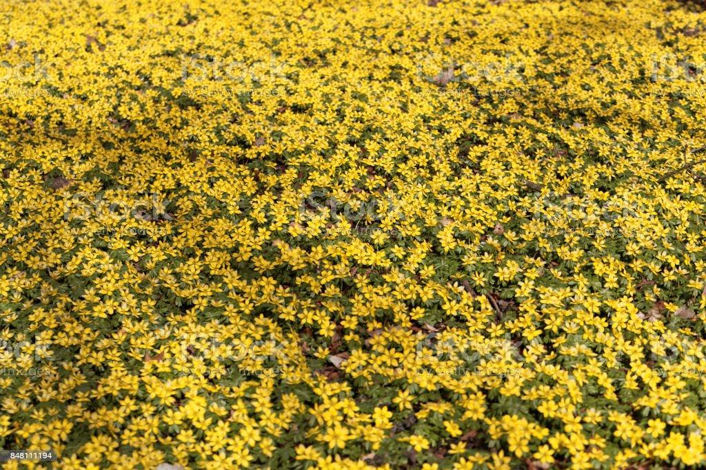 Winter aconite (Eranthis hyemalis) stock photo