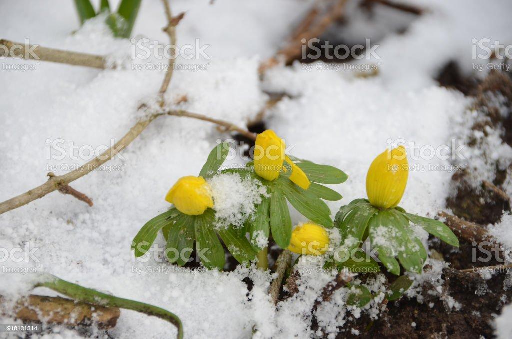 Winter aconite stock photo