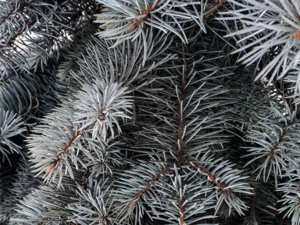 Winter and Christmas Background. Pine branch tree under snow. Fir-tree branches of conifer tree in snow for New Year close-up. stock photo