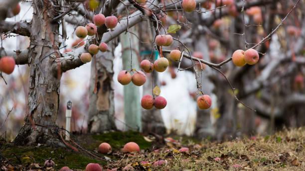 Winter apples stock photo