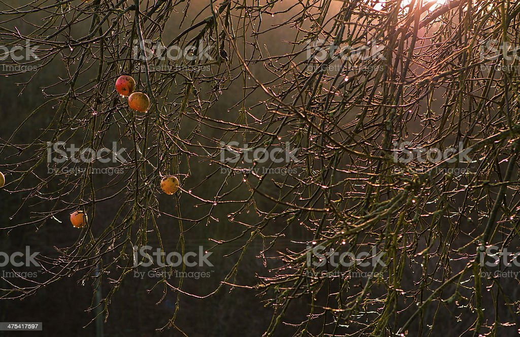 Winter apples stock photo