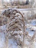 Reed in the winter landscape at the frozen Finowkanal, Eberswalde, Barnim