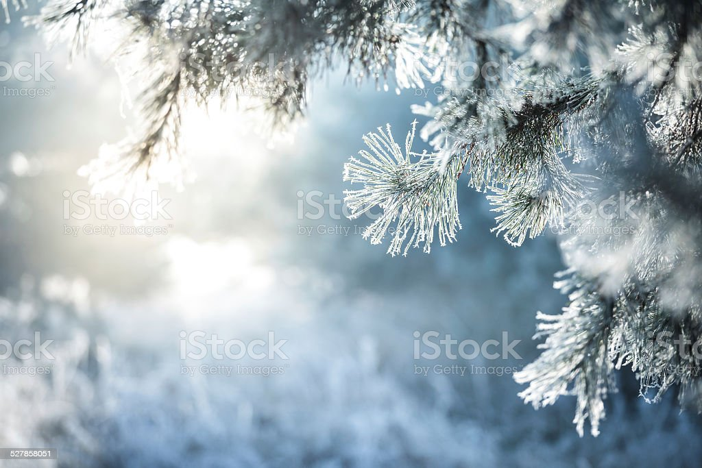 Winter Background - Frozen Christmas Tree and blurred Snow Winter Background - Frozen Christmas Tree. Defcused background - blurred Snow and Forest. Blue Stock Photo