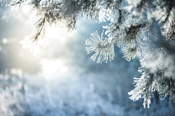Winter Background - Frozen Christmas Tree and blurred Snow stock photo