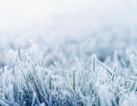 Winter background with snowy grass