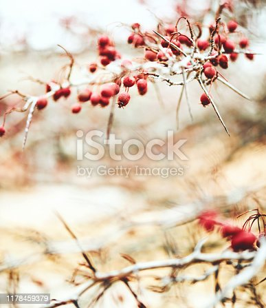 Winter berries and leaves in soft sunlight