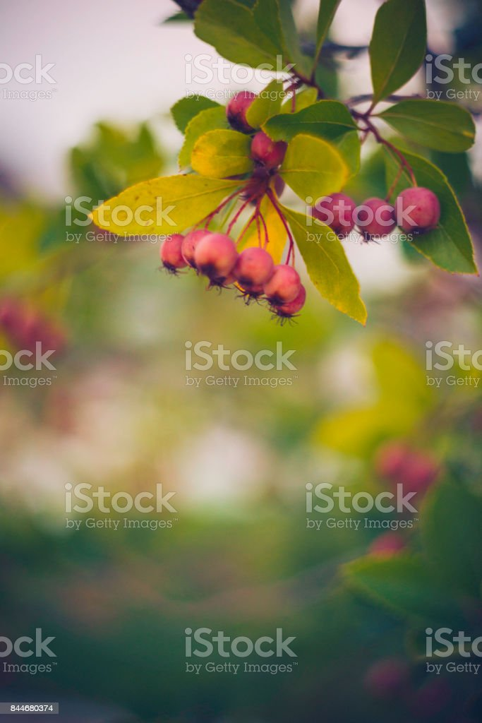 Winter berries and leaves in soft sunlight stock photo
