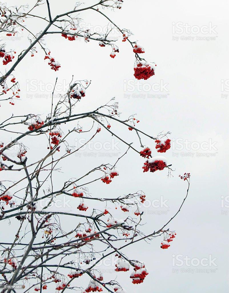 Winter berries. royalty-free stock photo