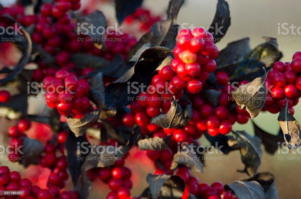 Winter Berries stock photo