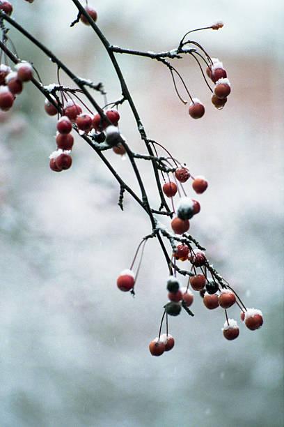 Winter berries. stock photo