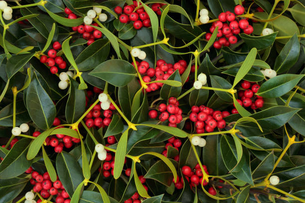 Winter Berry Holly and Mistletoe stock photo