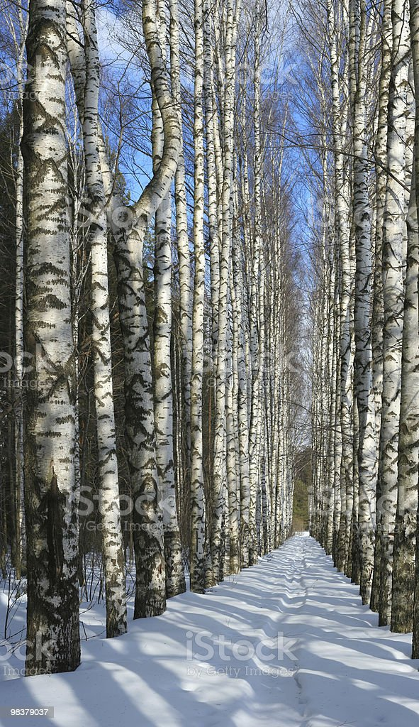 Winter birch alley royalty-free stock photo