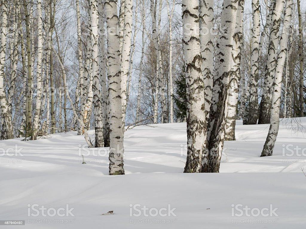 Winter birch forest. Daylight. stock photo