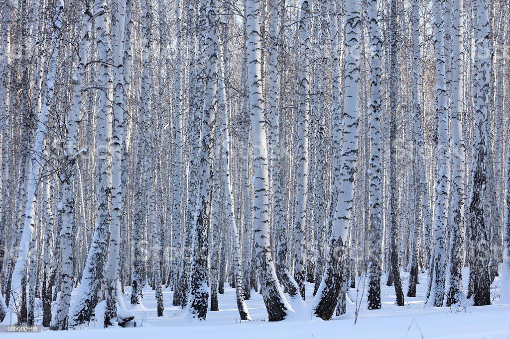 Winter Birke Wald an einem sonnigen Tag – Foto