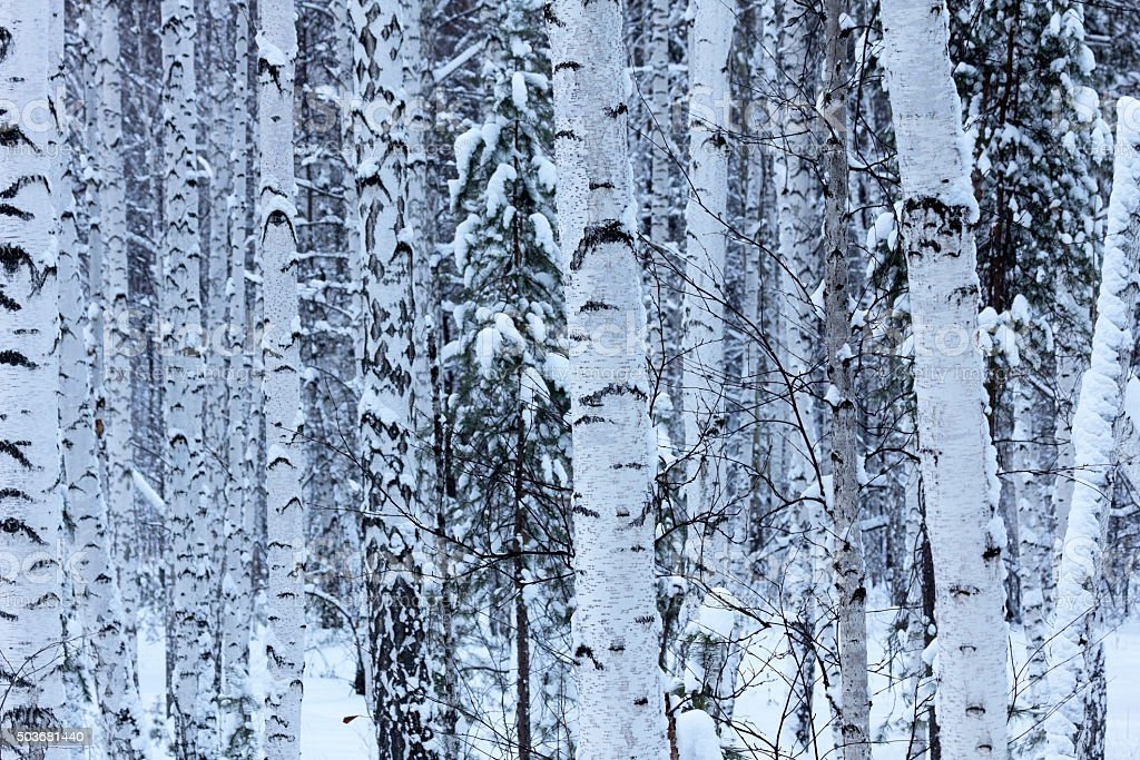 Winter birch forest royalty-free stock photo