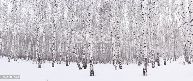 Winter birch grove ,snow at sunset