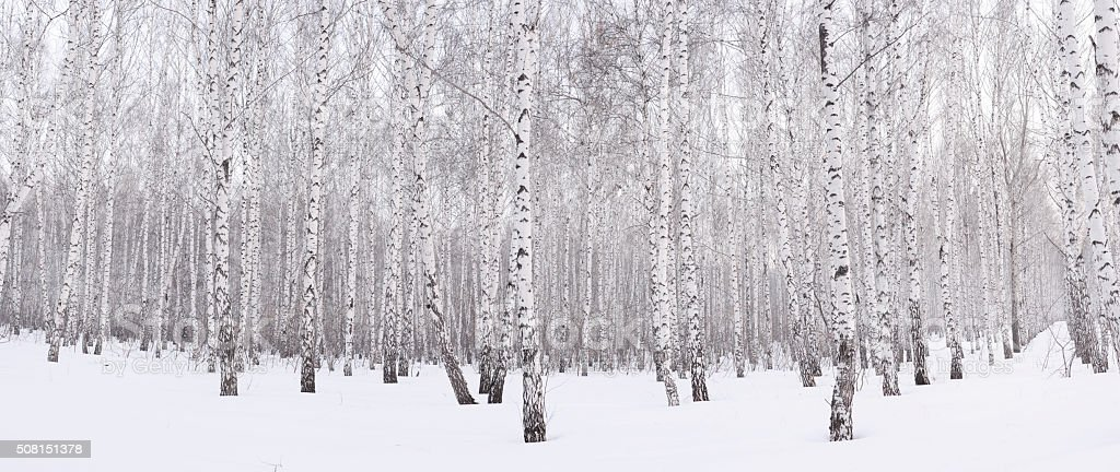 Winter birch grove​​​ foto