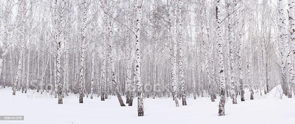 Invierno birch grove - foto de stock