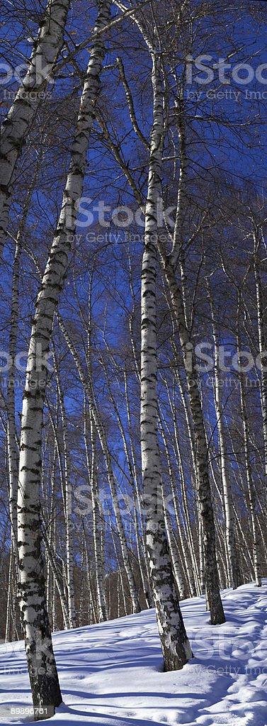Abedul vertical panorama de invierno foto de stock libre de derechos