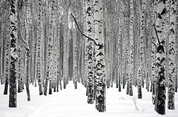 Winter Birken – Foto