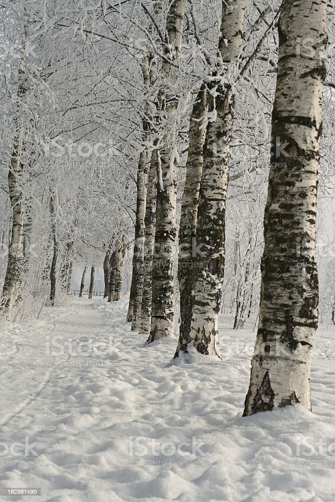 Winter birches alley royalty-free stock photo