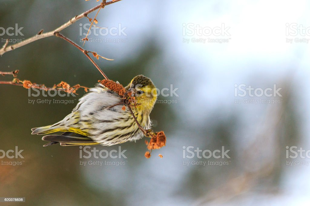 winter bird feeding on birch earrings zbiór zdjęć royalty-free