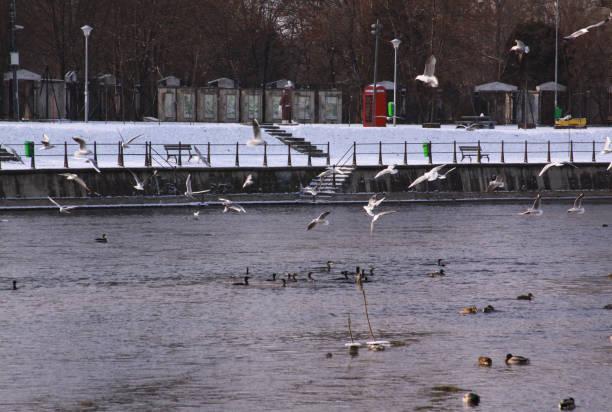 Winter birds flying in Cluj-Napoca, in cold winter stock photo