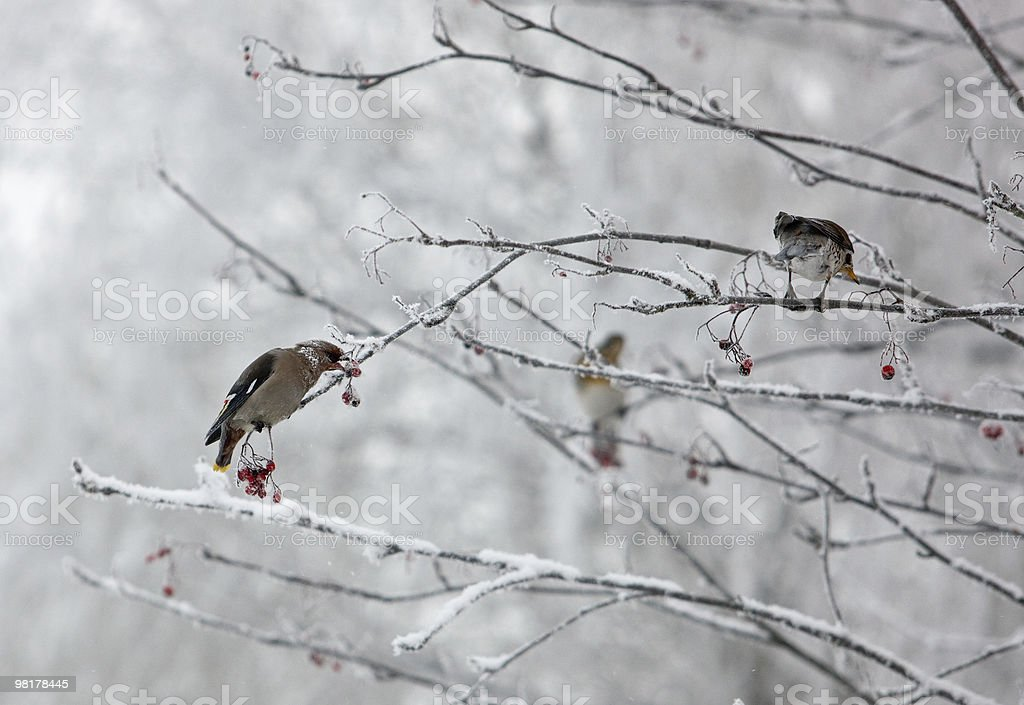 Inverno uccelli foto stock royalty-free