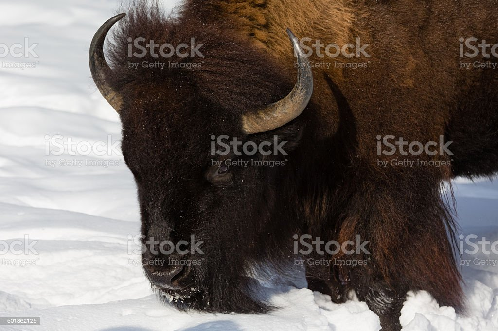 Winter-Bison – Foto