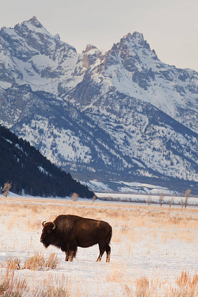 Winter Bison with Grand Teton stock photo