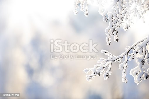 Snow covered alder tree (Alnus glutinosa) branch against defocused background.