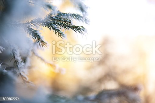 Winter background with pine branches.