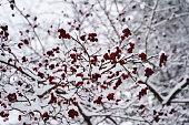 Winter branch with red berries. Snowy Branches of mountain ash in winter forest