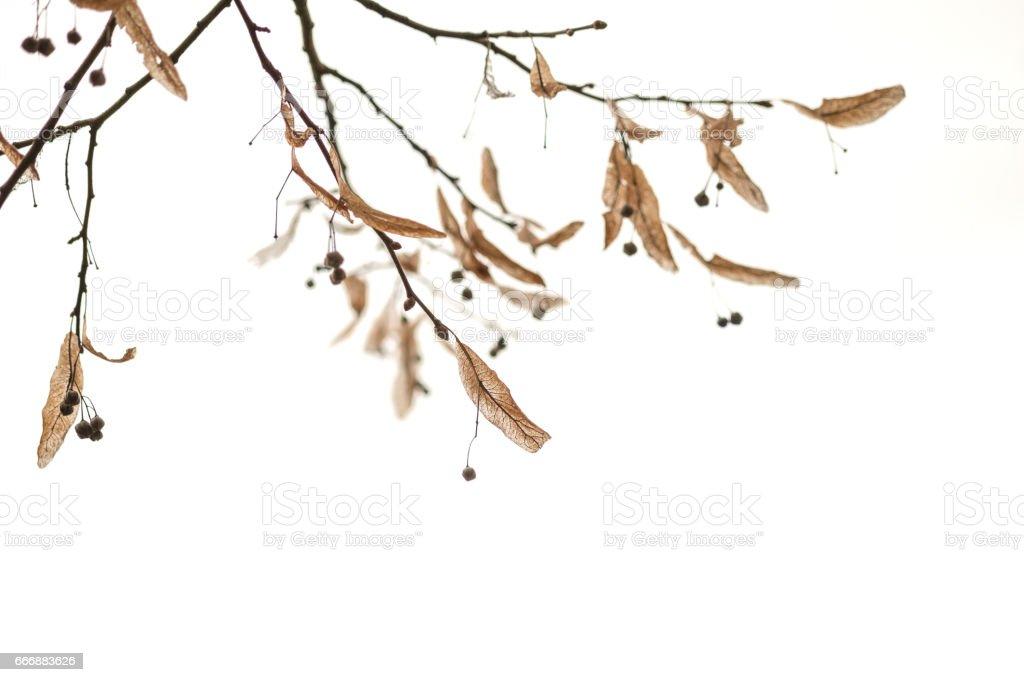 Branches d'hiver avec les feuilles séchées et de petits fruits sur fond blanc - Photo