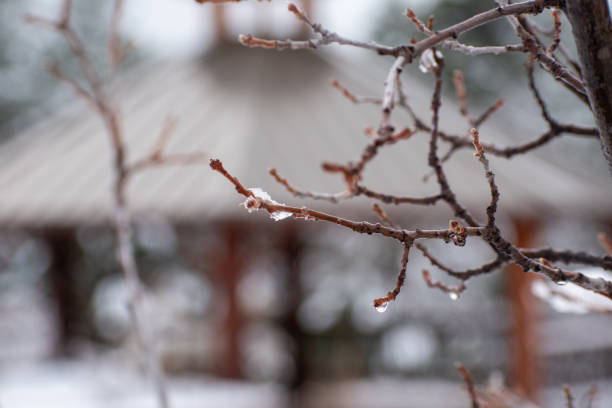 Winter branches with melting ice stock photo