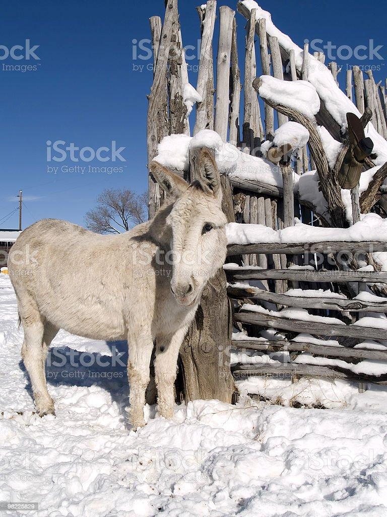Winter Burro royalty-free stock photo