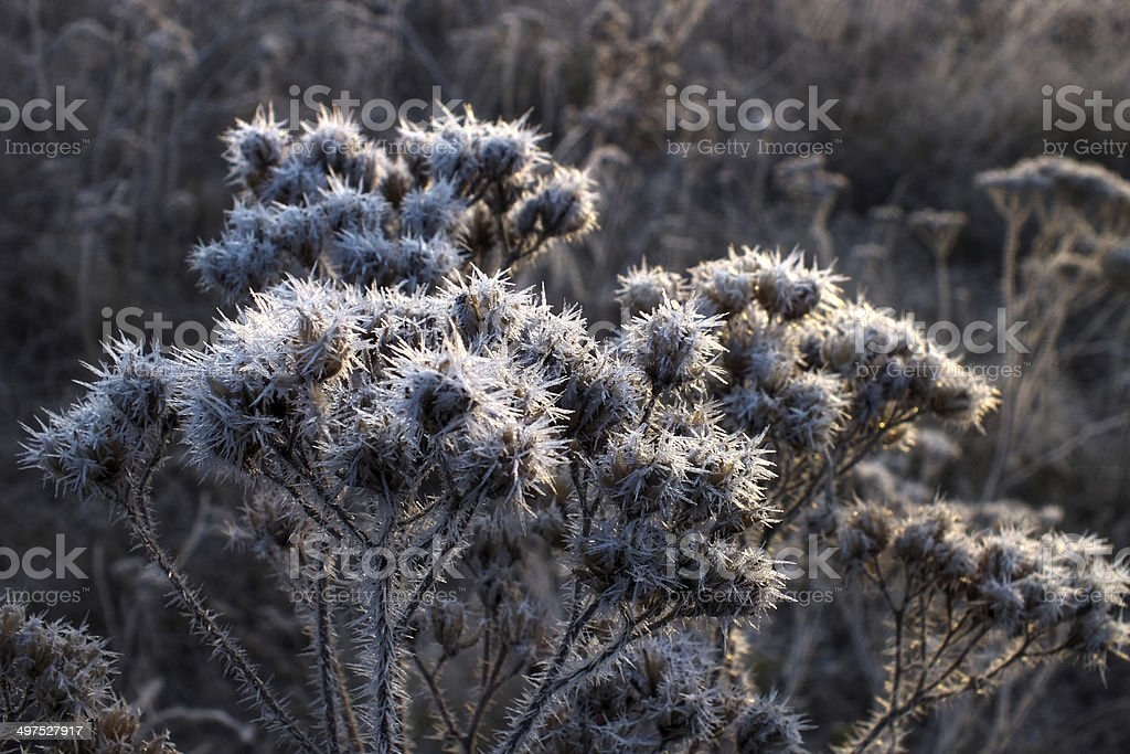 Winter Bush with ice crystals royalty-free stock photo