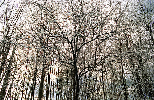 Winter Canopy stock photo