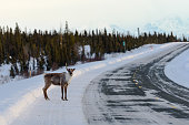 Winter Caribou Crossing Remote Highway with Mountain Background