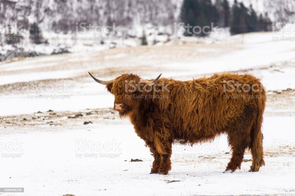 Lofoten kış sığır stok fotoğrafı