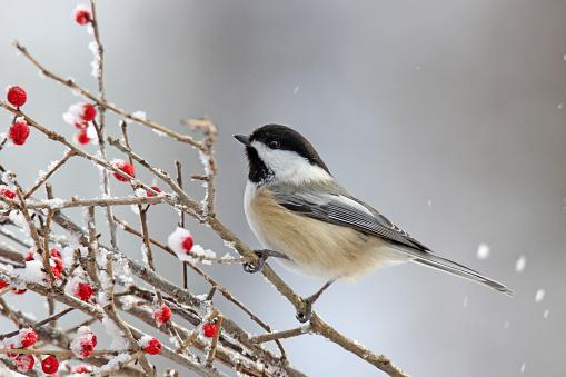 Winter Chickadee on Berries