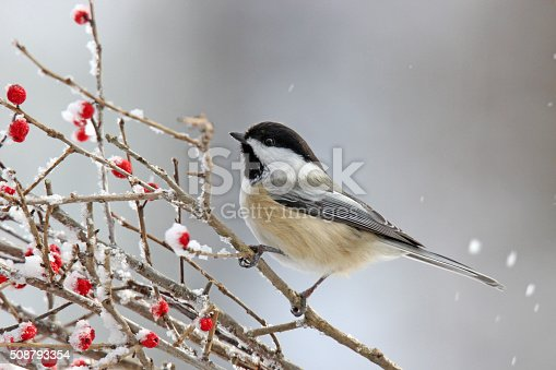A black capped chickadee (Poecile atricapillus) perching on winter berries.