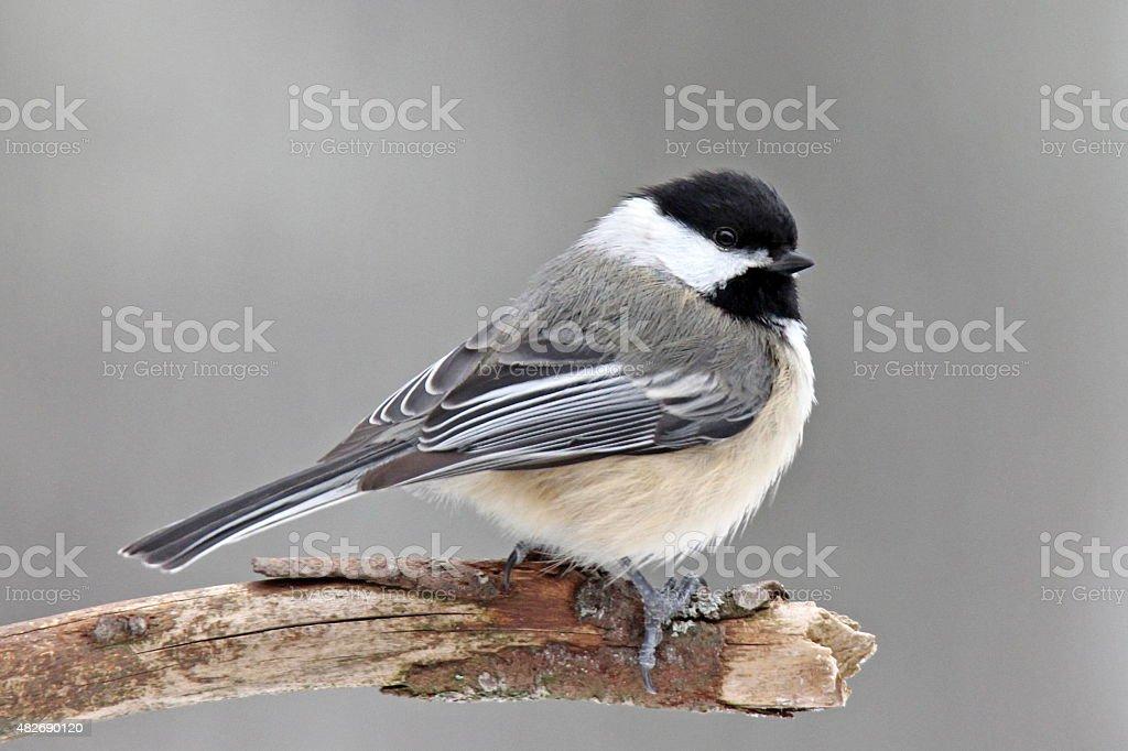 Winter Chickadee stock photo