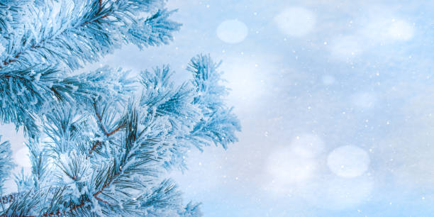 Winter christmas background with pine branches in hoarfrost and bokeh picture id1192305665?b=1&k=6&m=1192305665&s=612x612&w=0&h=cmoqfuxpqpsbskwosoqhforwgrtqboir5faey0omltw=