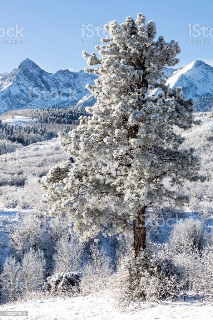 Winter Coated Ponerosa Pine stock photo