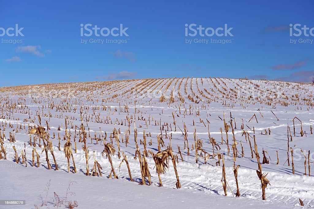 Winter Cornfield stock photo